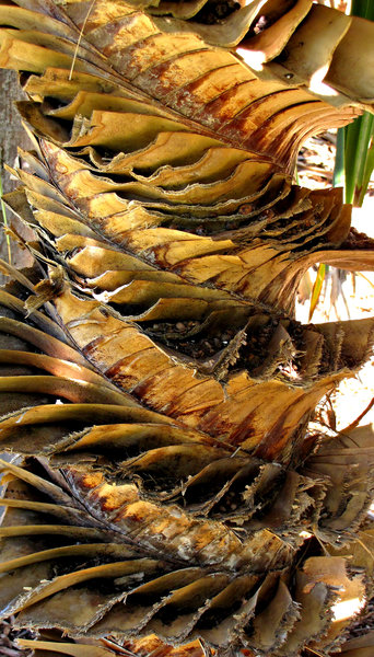 in a twist: the spiraling stem of a palm variety