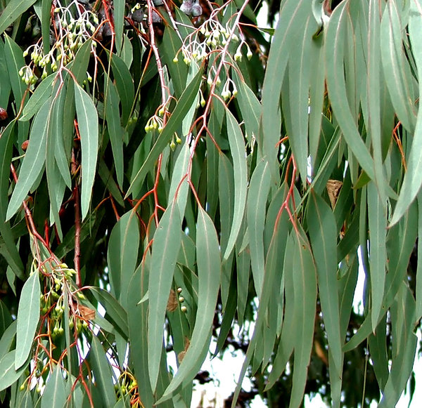 gumnut green: Australian iconic eucalypt  leaves and gumnuts - seed pods
