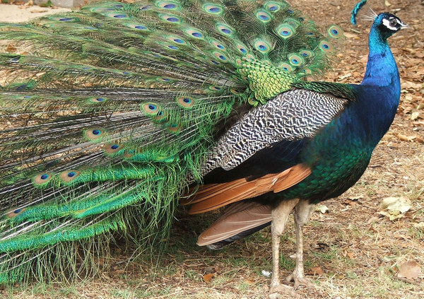 peacock colour: colourful domesticated peacock