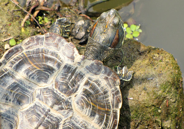 sticking your neck out: lakeside diamondback terrapin - turtle - getting ready for a swim