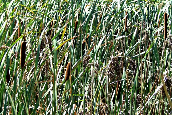 reeds and rushes: reeds and rushes blowing - bending - in the wind