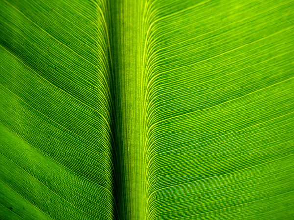 dusty green veins: large broad green leaf showing fine vein lines and black specks of dust - dirt
