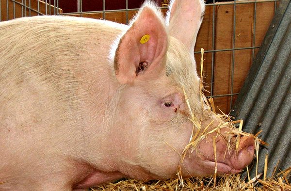 so I'm down in the mouth: weary looking sow with straw on her snout
