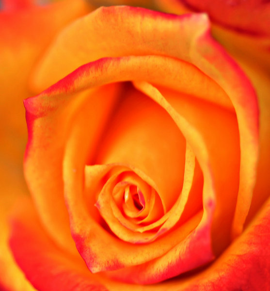 rose on fire: fiery coloured rose