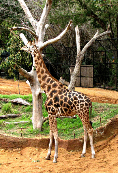 stretched: leaf browsing rothschild's giraffe in zoo