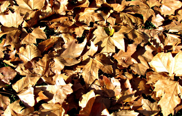 autumn carpet2: fallen autumn leaves carpeting the grass