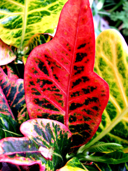 foliage colour3: large colourful broad leaved decorative plant foliage