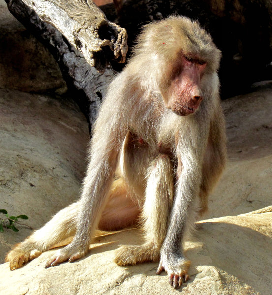 can't help my looks1: female Hamadryas baboon