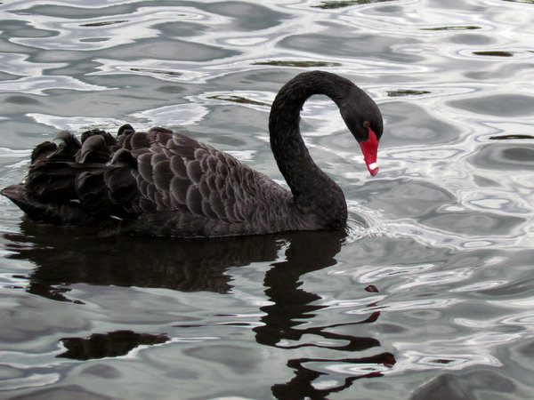 swan-ing on the river2: black swans swimming in river