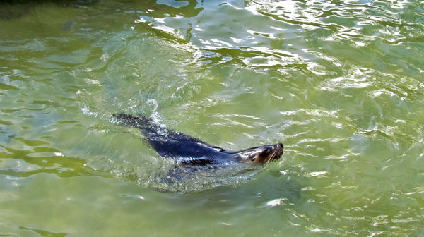 come in - the water's fine: friendly sea lion in the water