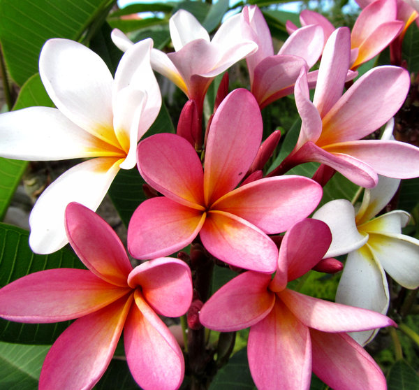 frangipani colour11: delicate and colourful frangipani flowers