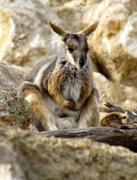 yellow-footed rock wallaby6: one of the Australian gentle colourful rock wallaby species