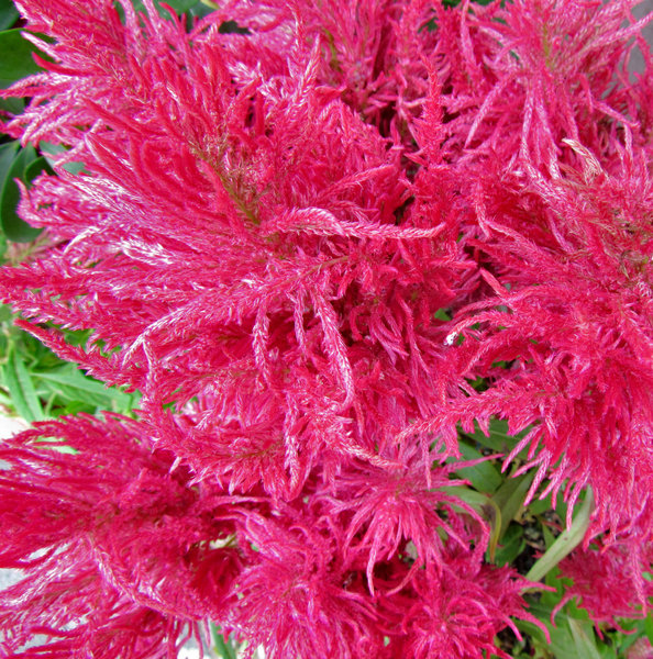 pink feathery flowers: garden display of colourful astilbe clusters