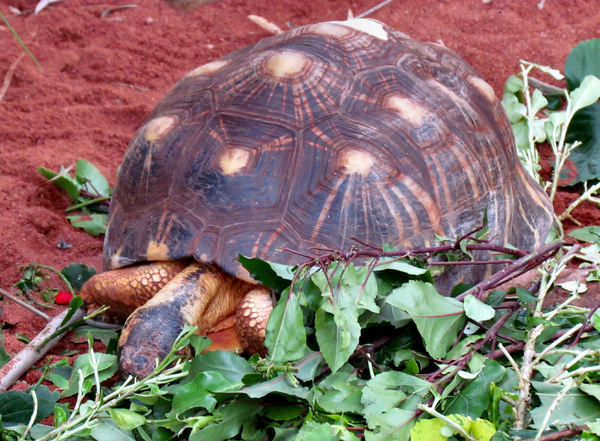 slow snack time2: radiated-tortoise feeding