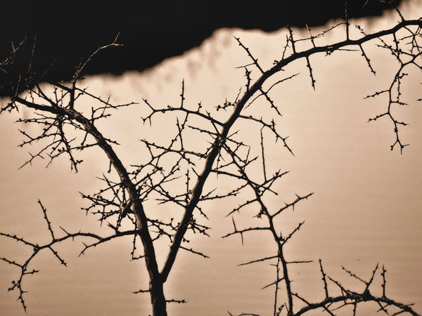 thorny sepia silhouette1: bare branches of thorny bush on stormy day