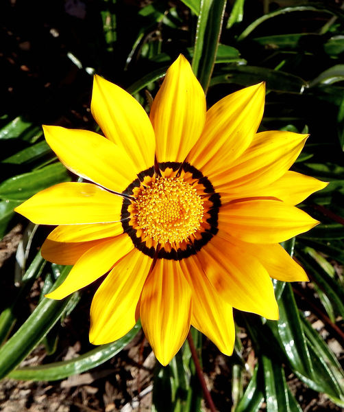 gazania colour15: the painted-like colourful appearance of gazanias