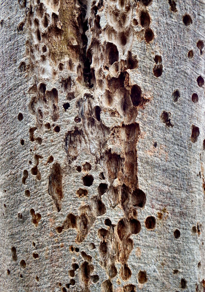 pitted boab bark1: Australian boab tree showing pitted bark on trunk