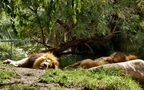 serious catnap1: male lions resting in their enclosure