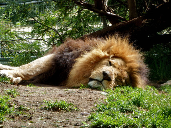 serious catnap2: male lion resting in his enclosure