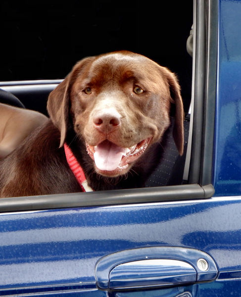 open window views2: dog looking out of car window