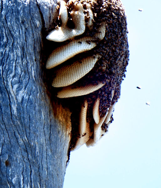 wild bees nest & honeycombs1A: wild bees nest & honeycombs in hollow tree trunk