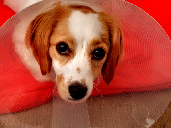 collared pooch7: young cavoodle pup with a protective e-collar following surgery