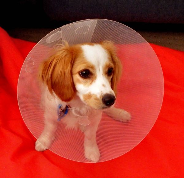 collared pooch1: young cavoodle pup with a protective e-collar following surgery