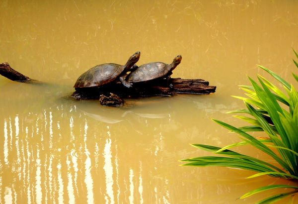 out on a limb: two small lake turtles on partially submerged tree log or limb