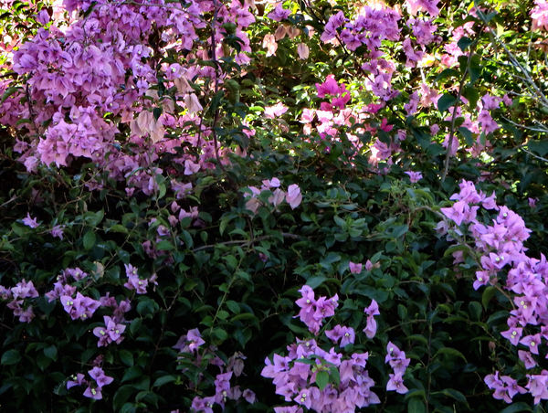 green and purple1: purple bougainvillea bracts