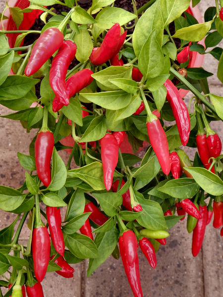 chilli growth2: small strong and hot bird's eye chilli potplant abundantly covered in fruit