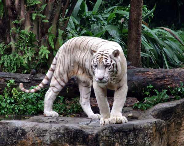 white tigers1: a streak of white tigers on view in zoo