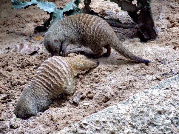 banded mongoose colony4: social and active banded mongoose interaction