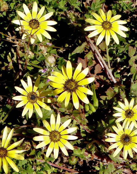 groundcover sunshine: competitive cape-daisy groundcover