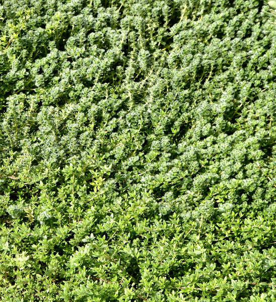 garden green foliage2: green flowering garden groundcover foliage background