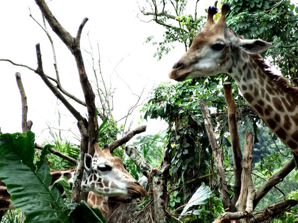 giraffe heights5: tall giraffes in their African style zoo enclosure