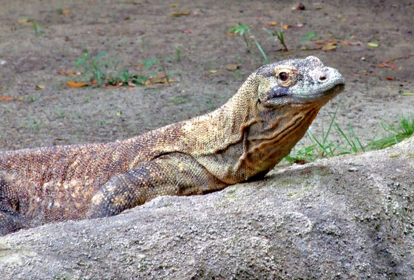 komodo dragon: largest land lizard - from Indonesia