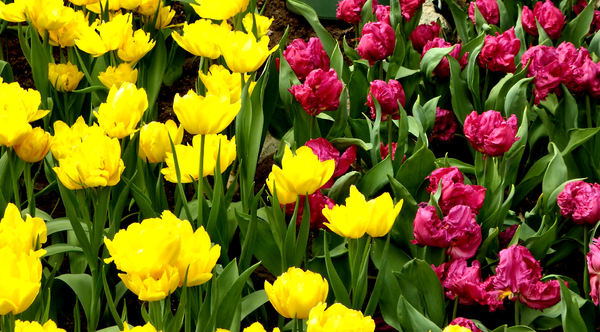 flower dome tulip display15: tulip display in Singapore's flower dome