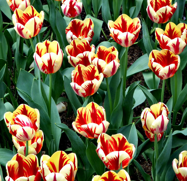 flower dome tulip display45: tulip display in Singapore's flower dome