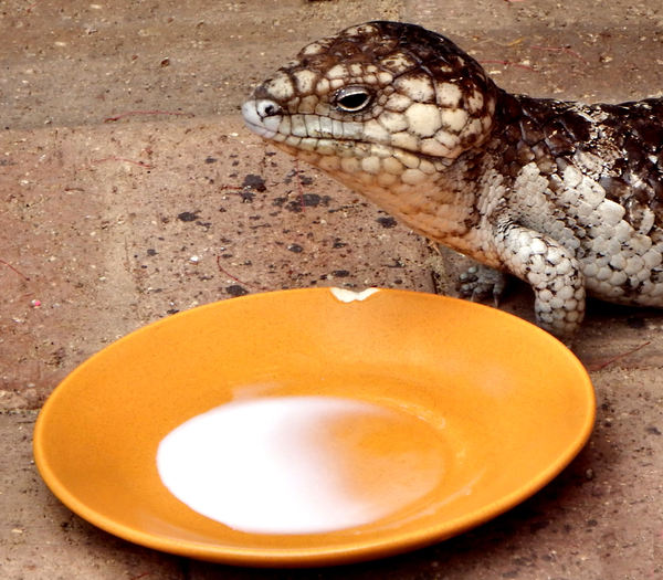 afternoon milk break2: common Australia shingleback skink drinking from a saucer of milk on back patio