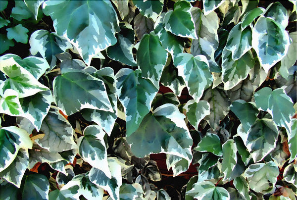 painted ivy wall colours1: close-up painting of variegated ivy leaves