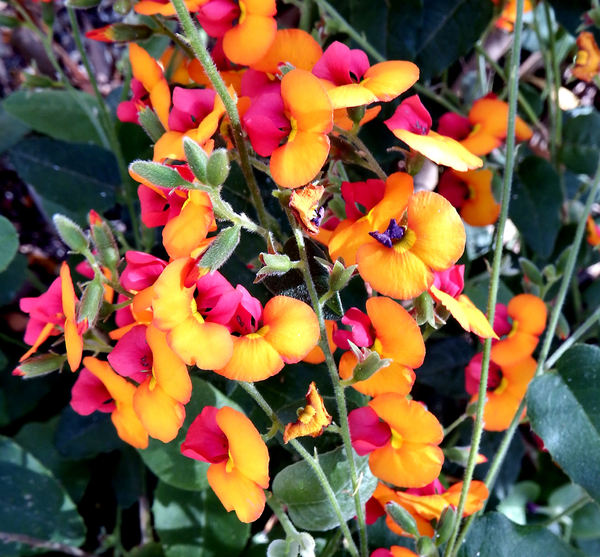 bright endangered pea flower: brightly coloured Western Australia flame pea wildflower