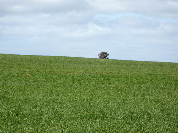 on agreen hill2: huge Australian farming hill paddock/field