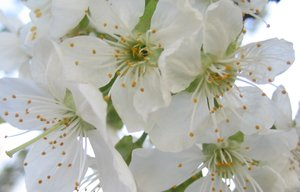 cherry blossom: Now the spring is coming. The first fruit tree in my garden flourishes. It' s the cherry tree.