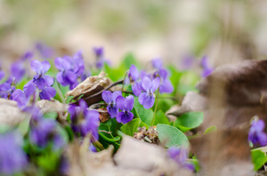 Wild flowers in the forest: Vibrant green foliage and wild flowers in a forest in spring
