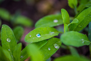 Drops: Fresh dew drops