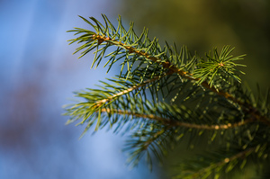 Christmas tree: fir tree background