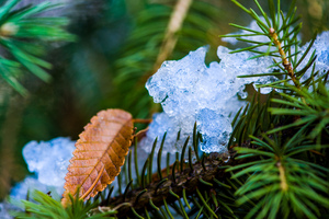 Pine Tree  Ice Crystal: xmasphoto2013