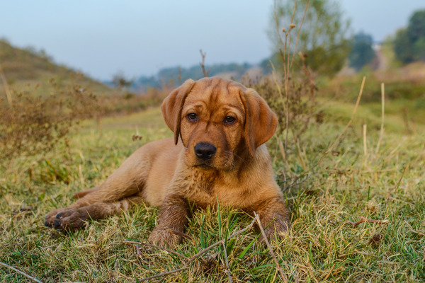 Labrador Retriever: Golden Labrador Dog