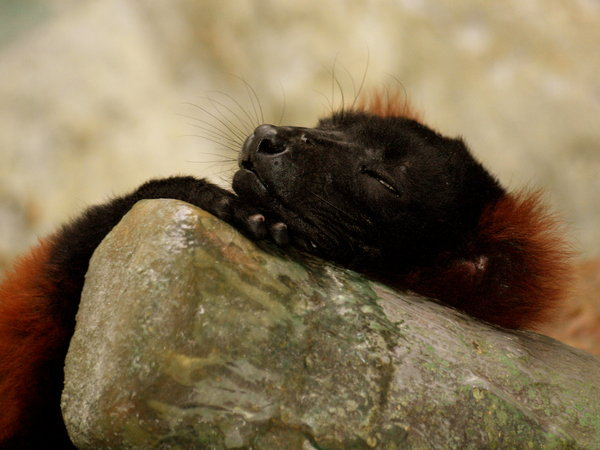 Lazy monkey: I don't recall the species, but this was a very cute (but scary!) monkey at Zoo Antwerp. He was behind glass. The first moment it was asleep and the next he looked right into the lens.