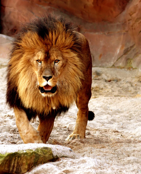 Lion: Male Lion at Zoo Antwerp. 